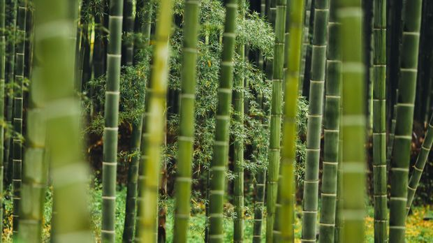 Bambus-grün-Pflanze-pixabay