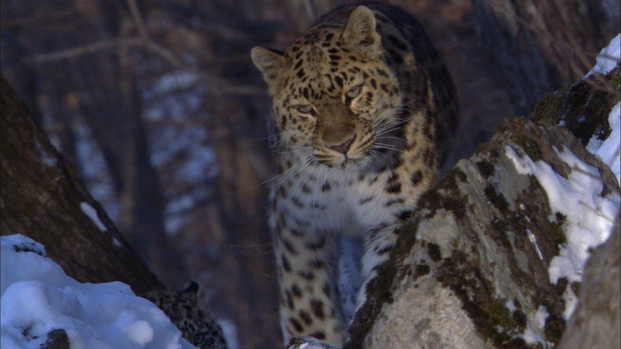 Der Amurleopard zählt zu den am meisten bedrohten Katzen-Unterarten, der Gesamtbestand in freier Wildbahn umfasst weniger als 40 Tiere. - Bildquelle: Earth   BBC Worldwide Ltd 2007