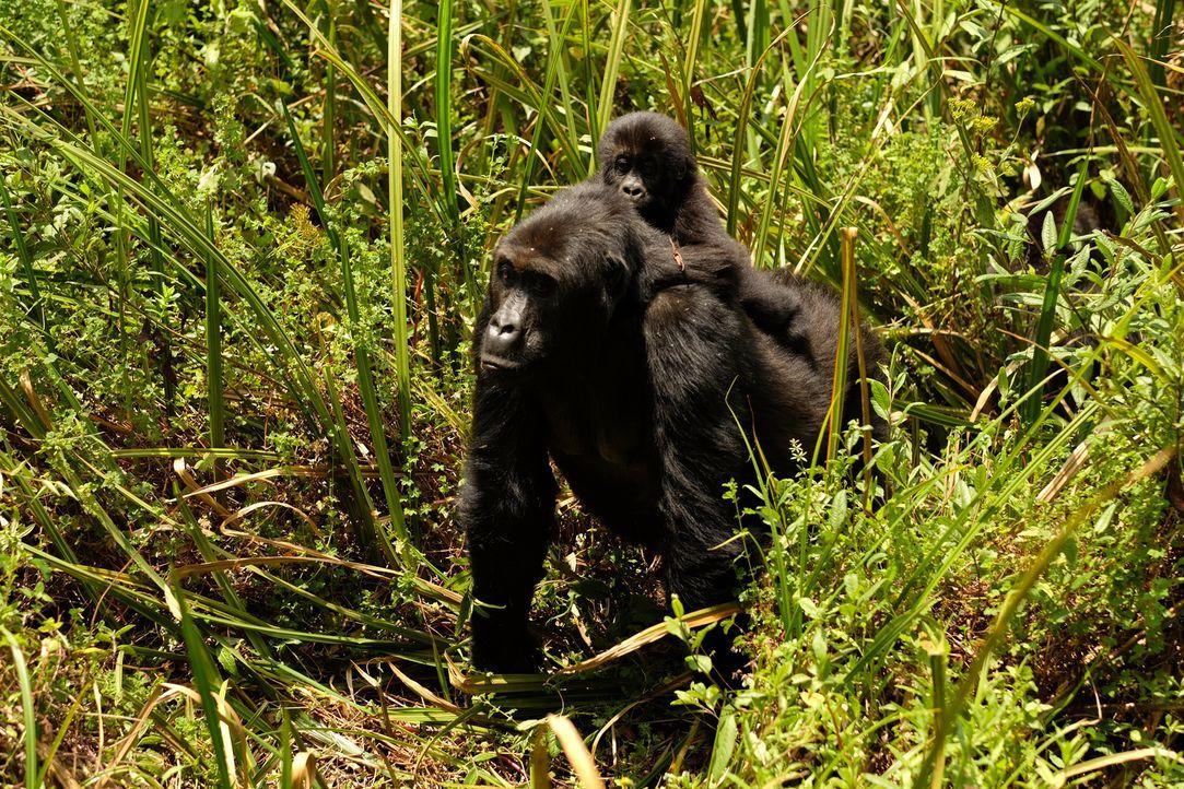 Bedrohtes Familienglück: Im zweiten Teil seiner Dokumentation über die Gorialls im kongolesischen Dschungel erlebt Tierfilmer Gordon Buchanan eine n... - Bildquelle: Patrick Evans BBC/Patrick Evans 2015