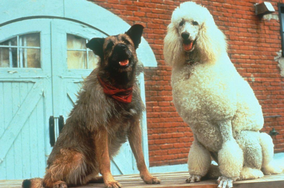 Die Familie Ubriacco bekommt mit dem Straßenhund Rocks (l.) und der Pudeldame Daphne (r.) Zuwachs ... - Bildquelle: TriStar Pictures