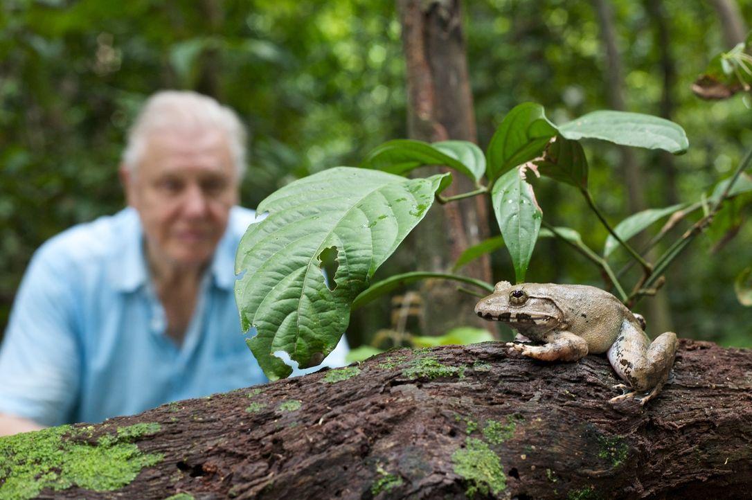 David Attenborough mit Frosch Rana im Wald in Sabah, Borneo. Amphibien sind weltweit mit einer alarmierenden Rate rückläufig - ein Drittel aller Art... - Bildquelle: Adam Scott Adam Scott