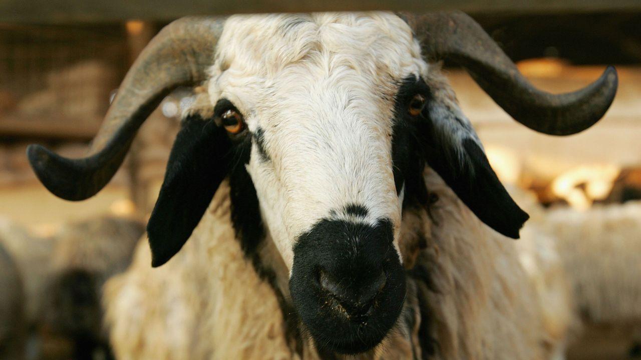 Gülspor verkauft Spieler für Ziegen - Bildquelle: 2006 DAGOC