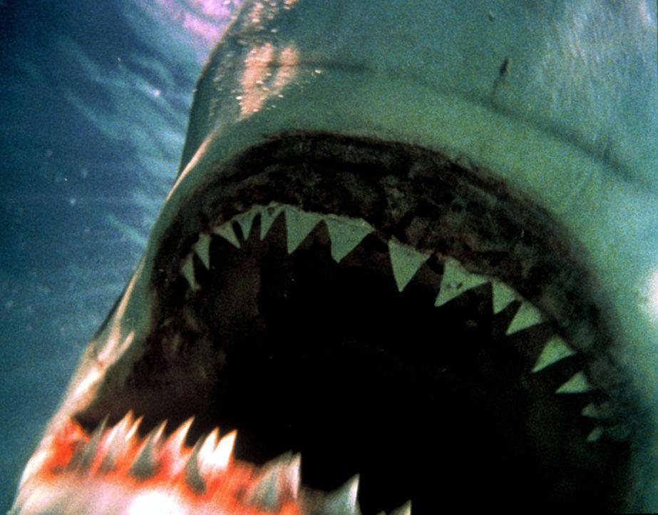 Die Weißen Haie machen mit jedem, der ihnen in die Quere kommt, kurzen Prozess ... - Bildquelle: Nu Image