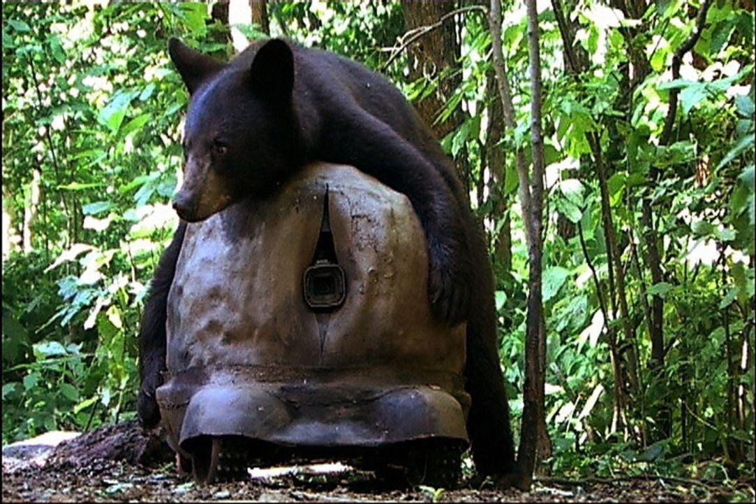 Die Schwarzbär-Mama umarmt den künstlichen Felsen, in dem die Filmkamera versteckt ist. - Bildquelle: John Downer Productions