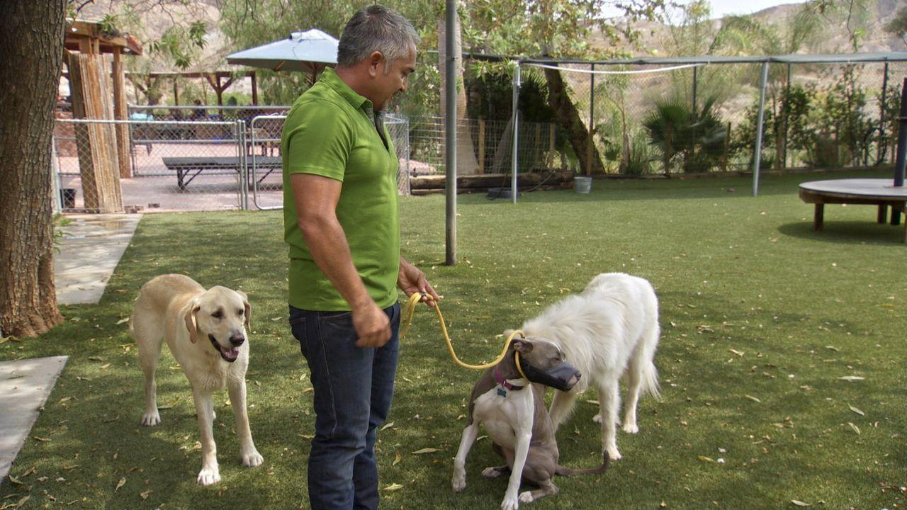 Gelingt es Cesar, die aggressive Hündin Nani in sein Rudel einzugliedern, um ihm die Aggressivität anderen Hunden gegenüber auszutreiben? - Bildquelle: NGC/ ITV Studios Ltd