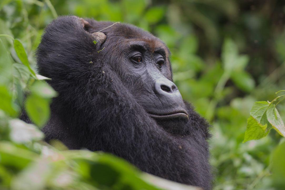 Fürsorglich: Gorilla-Mama Mwinga beobachtet ihr Baby Mwira aus der Ferne... - Bildquelle: Patrick Evans BBC/Patrick Evans 2015