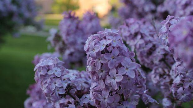 Flieder-lila-Pflanze-pixabay