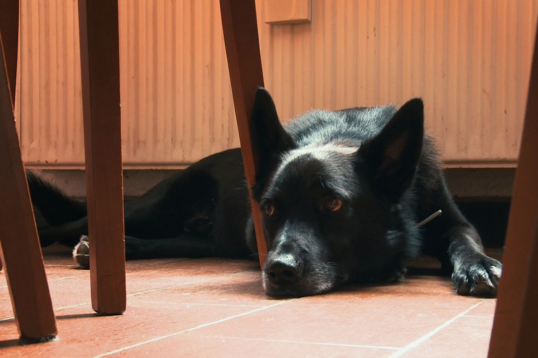 Der Schäferhund-Mischling Turbo weiß nicht, was es bedeutet, ein Leben in Freiheit zu führen. Sein ganzen Leben lag er in Ketten ... - Bildquelle: Belén Ruiz Lanzas 360 Powwow, LLC / Belén Ruiz Lanzas