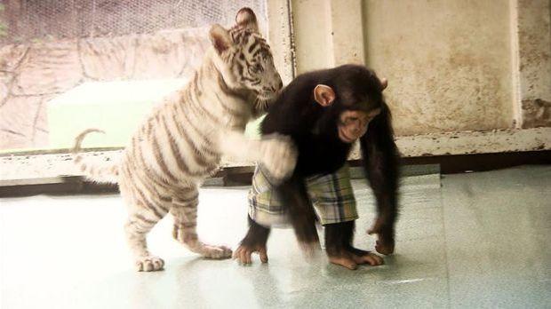 Bild Geschichte - Affe als Tigermama