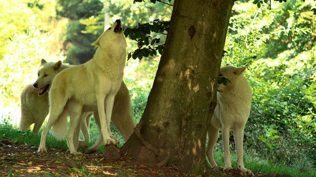 Der Wolf kommt zurück