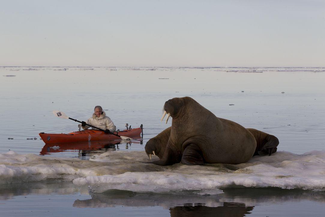Auf seiner Expedition mit der Eisbärenfamilie trifft Gordon Buchanan auch auf Walrosse ... - Bildquelle: Jason Roberts