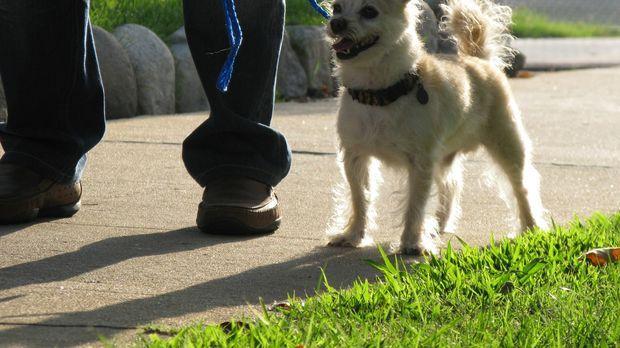 Chihuahua-Mischling Stanley hat sein Verhalten seit einem Umzug von New York...