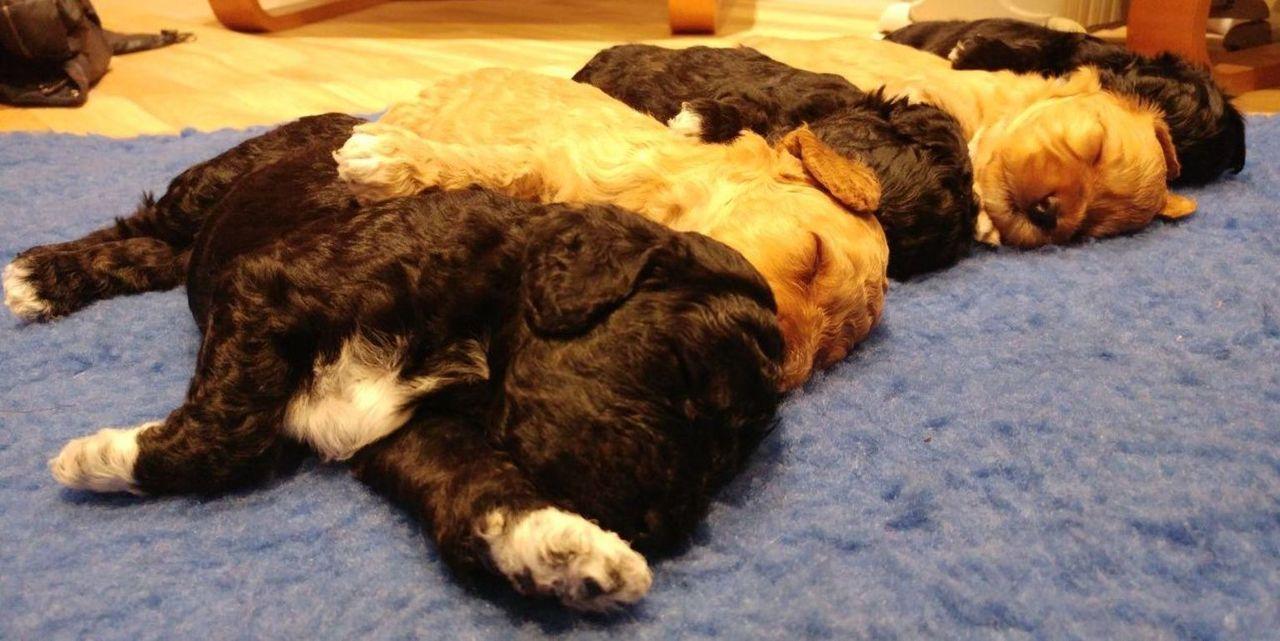 Die französische Bulldogge Rocky hat es gleich doppelt erwischt: Sie hat ein... - Bildquelle: True North