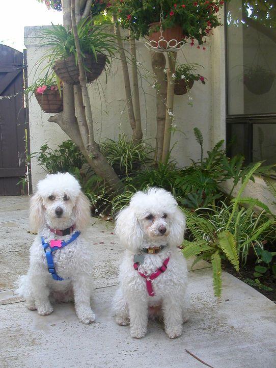 Diane hat einige Probleme mit ihren aggressiven und lauten Hunden Pixie und Poppy. Kann Cesar die beiden beruhigen, damit Diane mit ihnen wieder nor... - Bildquelle: Diane Dokos NGC/ ITV Studios Ltd