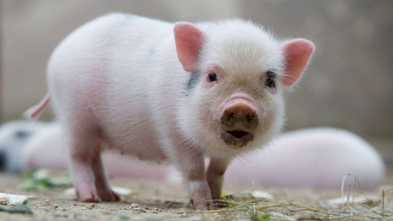 MiniSchwein4 - Bildquelle: dpa
