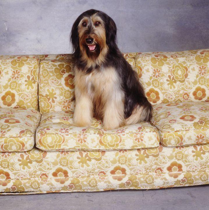 (2. Staffel) - Der Briard Buck ist der erste Hund der Bundys. Wie Al bekommt er nie etwas zu fressen und wenn doch, kommt ihm Al zuvor ... - Bildquelle: Sony Pictures Television International. All Rights Reserved.