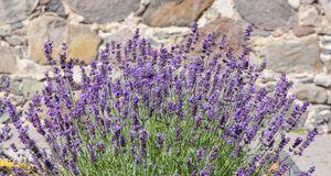 Gartengestaltung_2016_03_31_Lavendel pflanzen_Bild 2_fotolia_andrisa18
