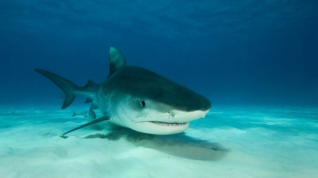 Auf den Bahamas hat Steve Backshall nur Haie im Kopf ... © BBC