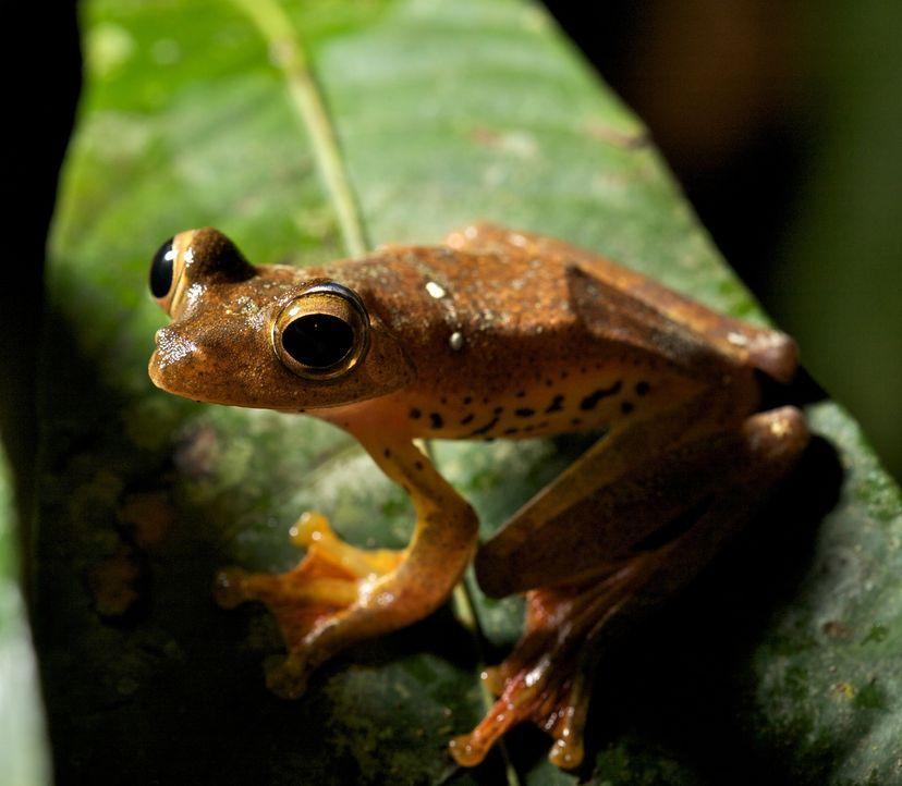 Ein Laubfrosch auf Borneo: David Attenborough untersucht, ob die Vorkommen von eng verwandten Fröschen auf verschiedenen Kontinenten ein erster Bewe... - Bildquelle: Adam Scott Adam Scott