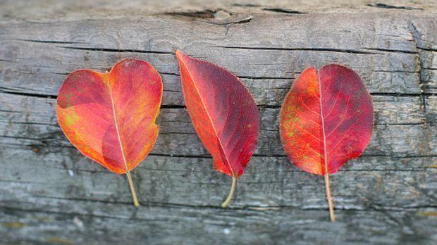 Drei rot gefärbte Blätter liegen auf einem Brett