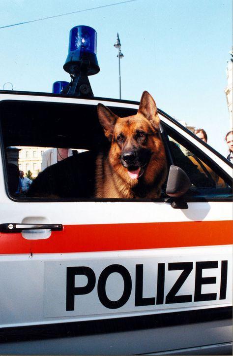 Rex im Polizeiauto - Bildquelle: Sat.1