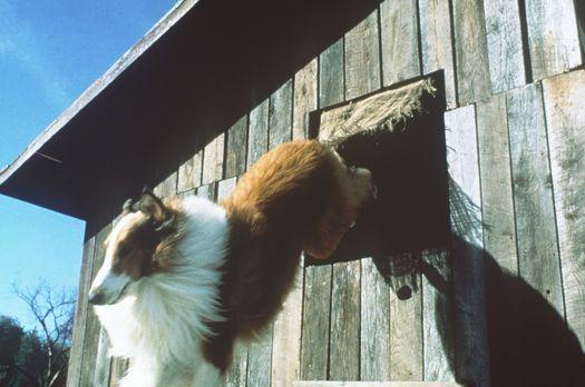 Lassie - Weil einem unliebsamen Nachbarn die Schafzucht der Turners ein Dorn...