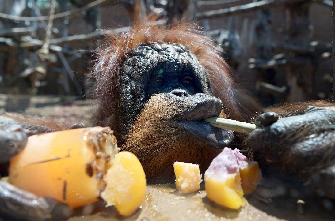 Affe-Orangutan-AFP - Bildquelle: AFP
