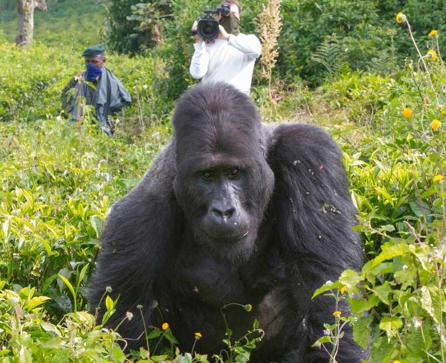 Sanfter Riese: Tierfilmer Gordon Buchanan baut im kongolesischen Dschungel eine Freundschaft zu dem Silberrücken Chimanuka auf und dokumentiert sein... - Bildquelle: Patrick Evans BBC/Patrick Evans 2015