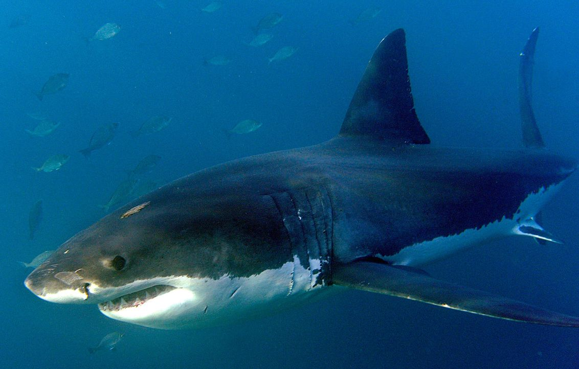 Weisser Hai - Bildquelle: dpa