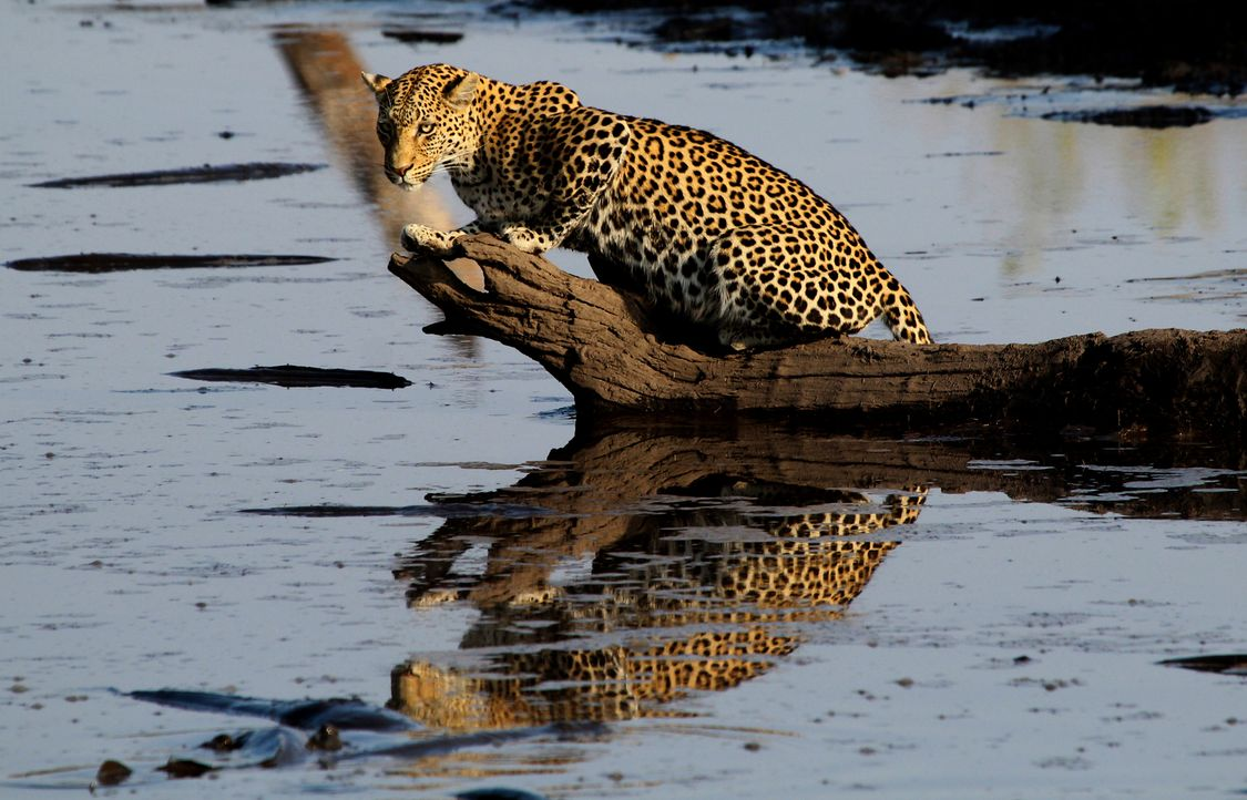 Zwei Jahre lang begleitet Tierfilmer Brad Bestelink die Leoparden von Savuti. Er wird Zeuge, wie eine Leoparden-Mutter um ihre zwei Jungtiere kämpft... - Bildquelle: Brad Bestelink Icon Films / Brad Bestelink