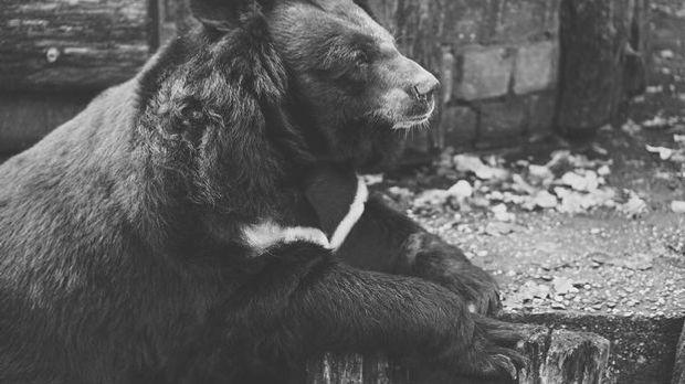Der Kragenbär