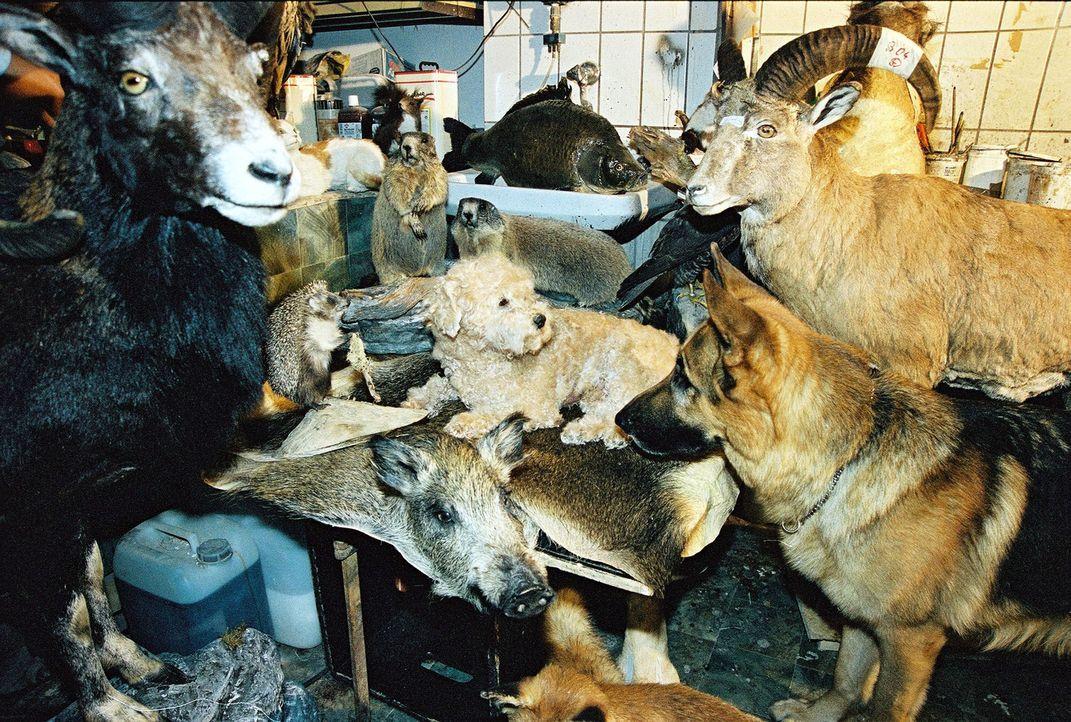 Ein Besuch beim Tierpräparator stürzt Rex in große Verwirrung ... - Bildquelle: Ali Schafler Sat.1
