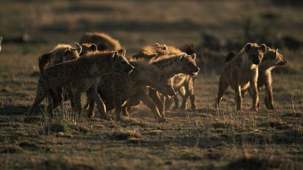 Wenn ein Rudel Hyänen auf die Jagd geht, haben die Beutetiere fast keine Chan...