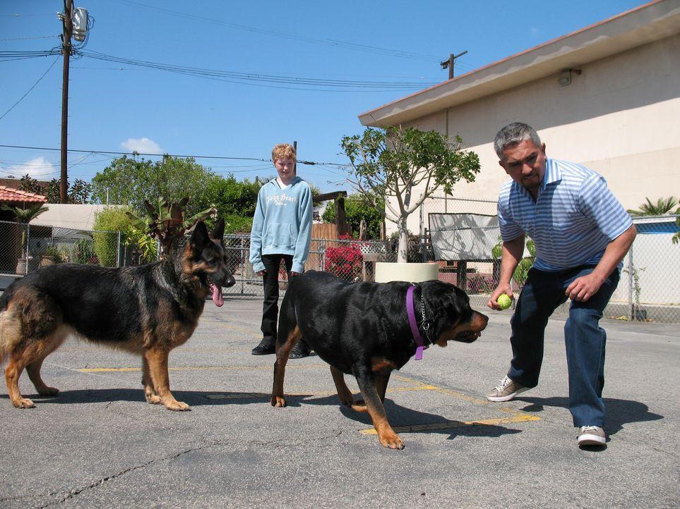 Hundeflüsterer Cesar Millan (r.) trifft auf Rottweiler Major und Schäferhündin Nira. Die Vierbeiner haben es sich zur Aufgabe gemacht, sich gegensei... - Bildquelle: Rive Gauche Intern. Television