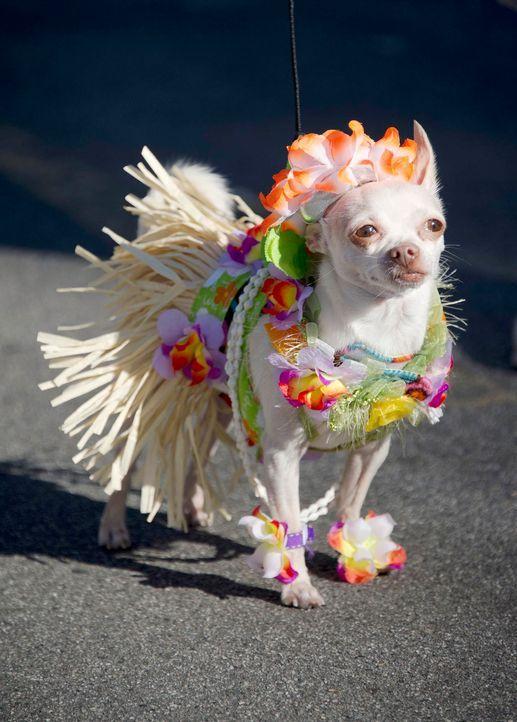 Hula-Chihuahua - Bildquelle: getty-AFP