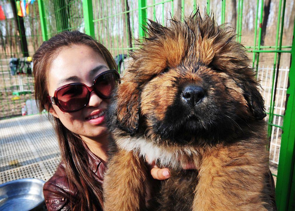 Tibetische-Dogge-AFP - Bildquelle: AFP