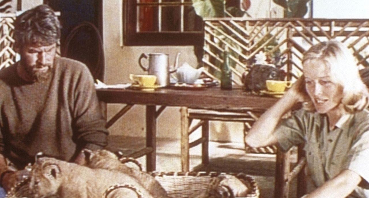 George Adamson (Bill Travers, l.) kehrt von einer Safari mit drei Löwenbabys nach Hause zurück. Er musste ihre Mutter erschießen, als sie ihn anf... - Bildquelle: 1965, renewed 1993 Columbia Pictures Industries, Inc. All Rights Reserved.
