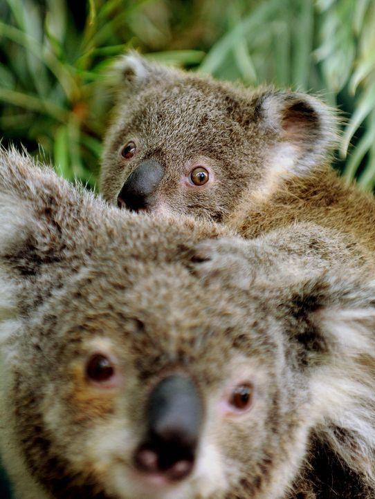koala-11-11-03-AFP - Bildquelle: AFP