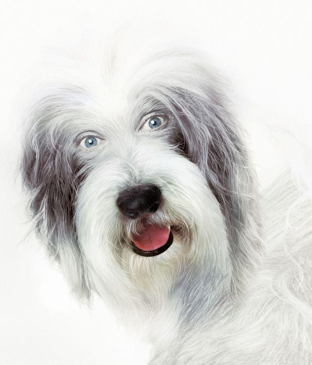 Zeitweise verwandelt sich Staranwalt Dave in den Hund Shaggy und lernt aus diesem Blickwinkel nicht nur seine Familie richtig kennen.... - Bildquelle: Disney Enterprises, Inc. All rights reserved