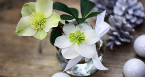 christrose pflege und standort f r die winterblume sat 1. Black Bedroom Furniture Sets. Home Design Ideas