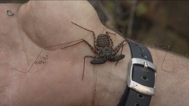 Die Spinnenkrabbe kann schmerzhafte Verletzungen verursachen, aber das Team s...