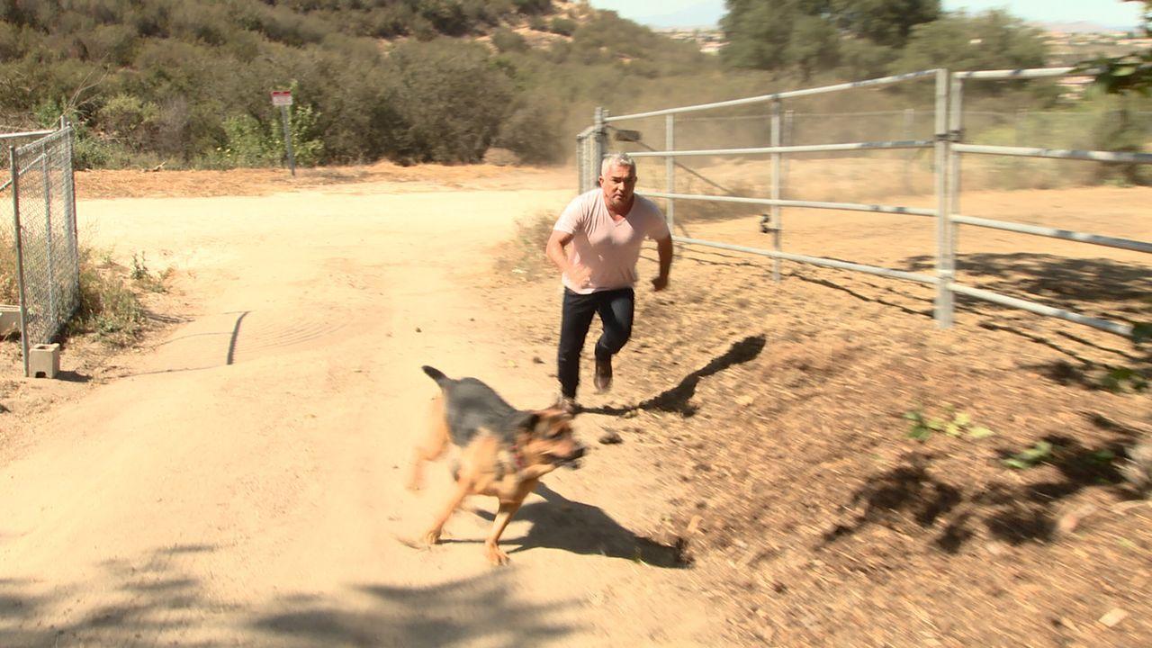Auf der Melgoza Familien Ranch hat der Hund Bodie aus unerfindlichen Gründen angefangen, Tiere zu attackieren. Kann Cesar (Bild) der Familie und auc... - Bildquelle: NGC/ ITV Studios Ltd