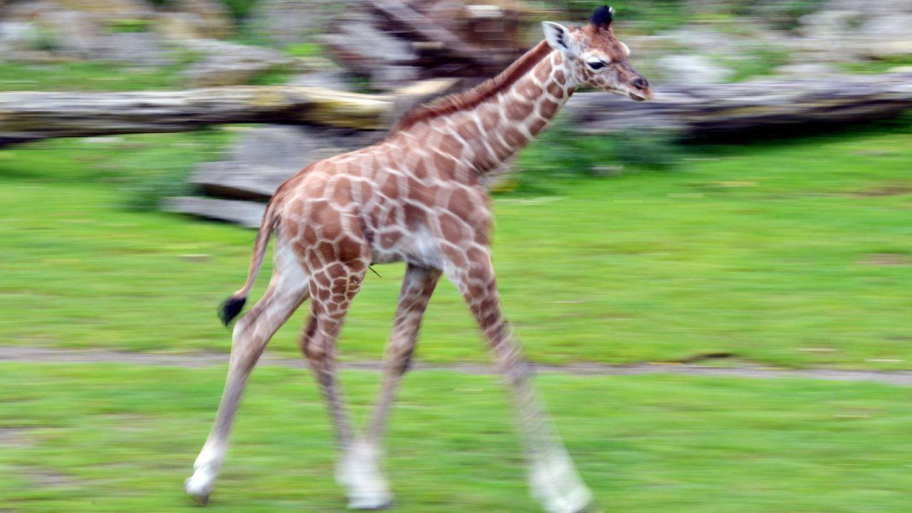Giraffe3 - Bildquelle: dpa