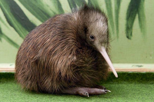 Kiwi: immer der Nase nach! - Bildquelle: Dpa: Robert Schlesinger