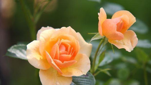Rose-orange-Blüte-pixabay