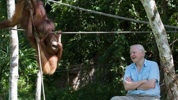 Tierischer Spaß: David Attenborough mit jungen Orang-Utan im Sepilok Rehabili...