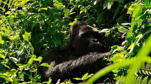 In den Wäldern Ugandas trifft das Team auf einen Gorilla ... © Nikki Waldron...
