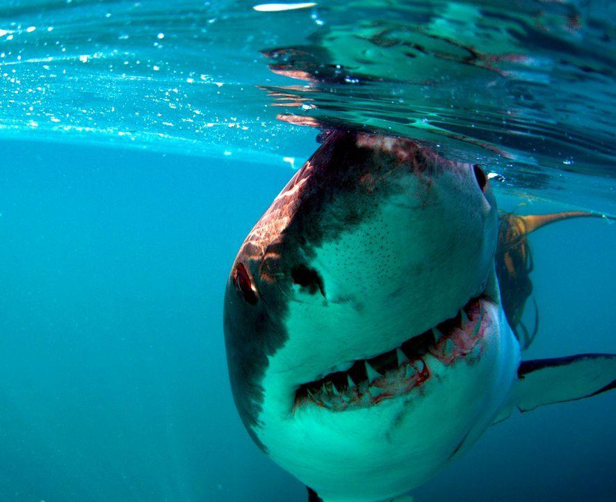 Hai-Taucher Mike Rutzen hat über 100 Tauchgänge mit dem als gefährlich verrufenen Weißen Hai gemacht. Zwar ist ihm selbst nie etwas passiert, doch e... - Bildquelle: Morne Hardenberg MORNE HARDENBERG