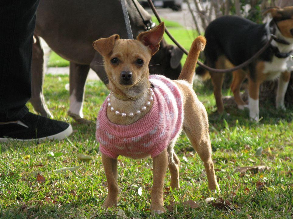 Chihuahua-Mischling Ginger bereitet ihren Besitzern Probleme ...