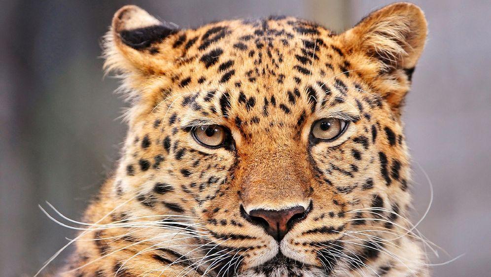 Leoparden Alles 252 Ber Die Stolzen R 228 Uber